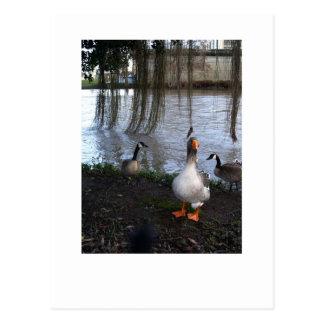 Goose Walk Postcard