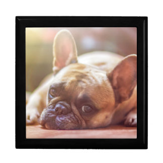Gorgeous french bulldog lying down gift box