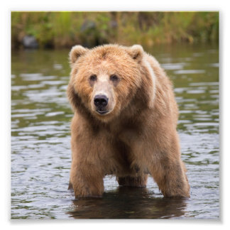 Gorgeous kodiak brown bear photo print