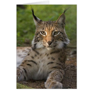 gorgeous lynx resting card