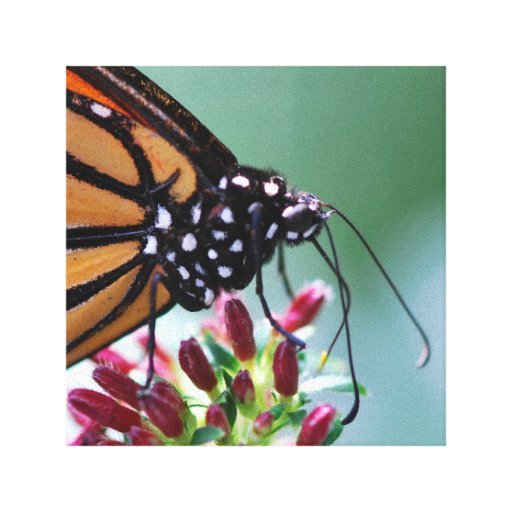 Gorgeous Monarch Butterfly on flower macro Canvas Prints