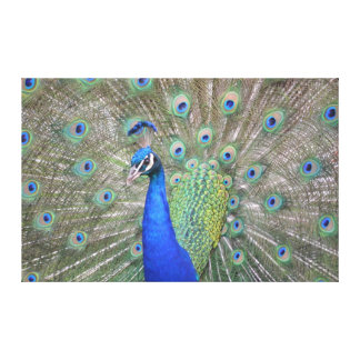 Gorgeous Peacock Canvas Print