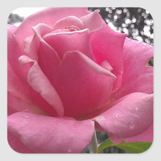Gorgeous pink rose flower in bloom! square sticker