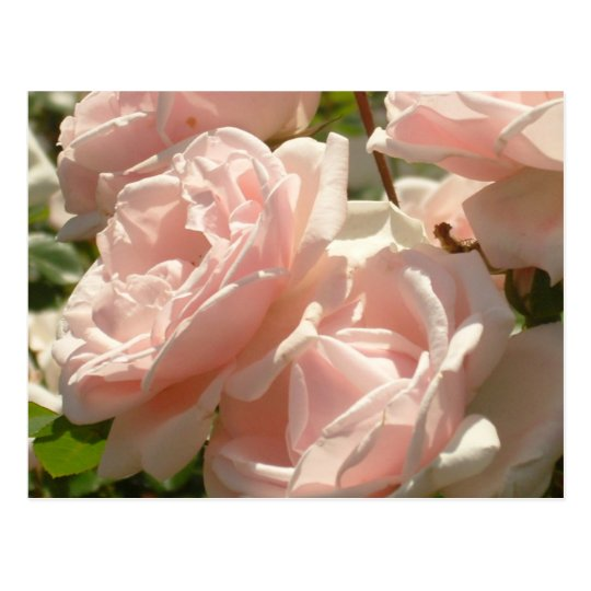Gorgeous Roses Postcard