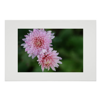 Gorgeous Soft Pink Flowers Poster