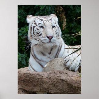 Gorgeous white bengal tiger poster