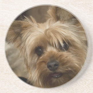 Gorgeous Yorkshire Terrier Coaster