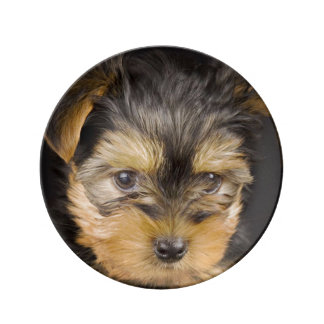Gorgeous Yorkshire Terrier Plate