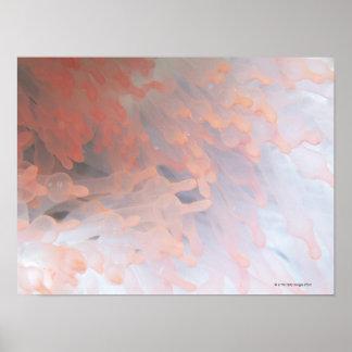 Gorgonian coral 4 poster