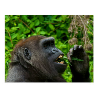 Gorilla Eating Salad Postcard
