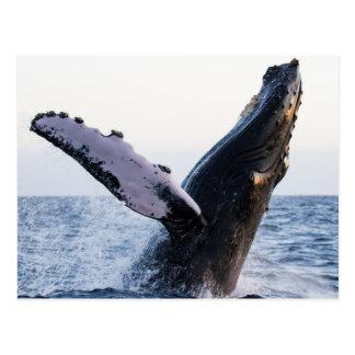GotScience.org postcard: Breaching humpback whale Postcard