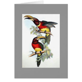 Gould - Double-Collared Aracari Toucan Card