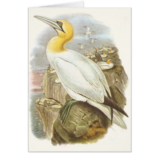 Gould - Gannet - Sula bassana Card