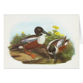 Gould - Shoveler - Anas clypeata Card