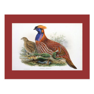 Gould - Temminck's Horned Pheasant Postcard