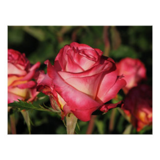 Granada Hybrid Tea Roses 046 Poster