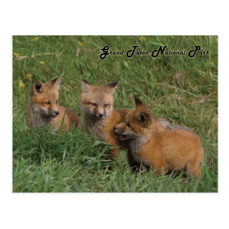 Grand Teton National Park Fox Kits Postcard