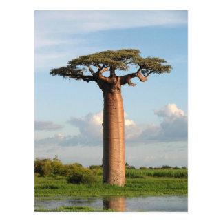Grandidier's Baobab Madagascar Postcard