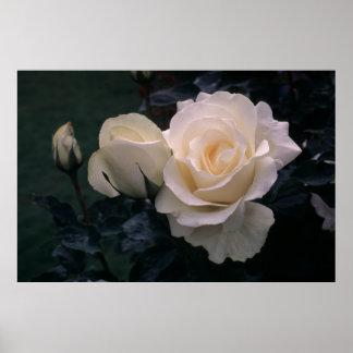Grandiflora Rose Mount Hood Posters