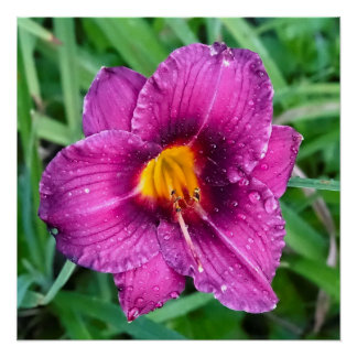 Grape Day lily with water droplets