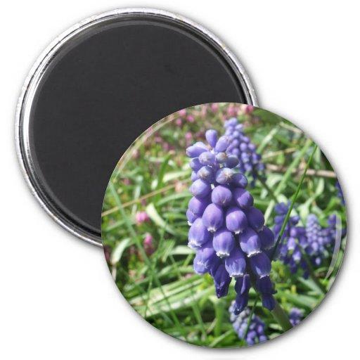 grape hyacinth magnets