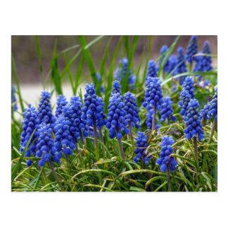 Grape Hyacinth Postcard
