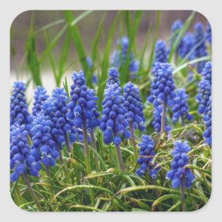 Grape Hyacinth Square Sticker