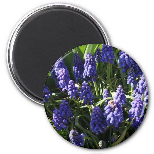 Grape Hyacinths Fridge Magnets