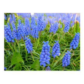 Grape Hyacinths Postcard