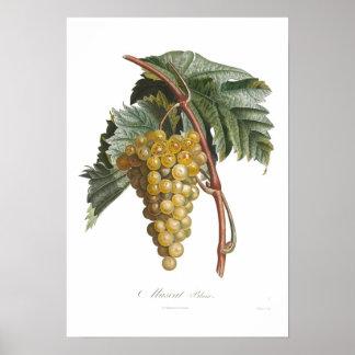 Grape,muscat blanc print
