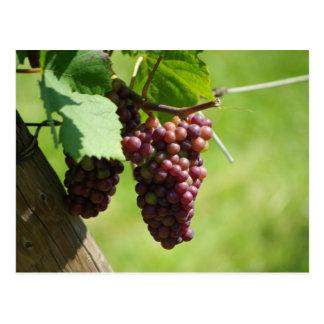 Grape of Alsace Postcard