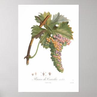 Grape,raisin de Corinthe Poster