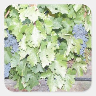 Grape vine nature and wine lover photograph square sticker