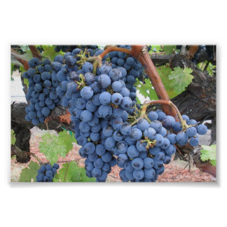 Grapes of Napa Valley Poster