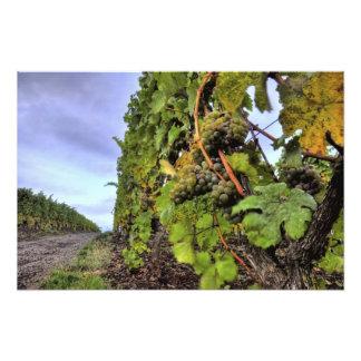 grapes on a vine photo