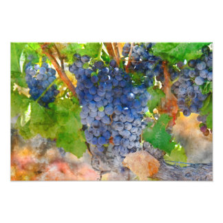 Grapes on the Vine in Napa Valley California Photo Print