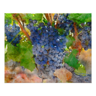 Grapes on the Vine in Napa Valley California Poster