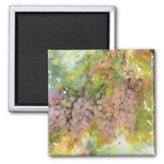 Grapes on the Vine ready to make Wine Magnet