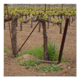 Grapes on the Vine - Winery Photograph Poster