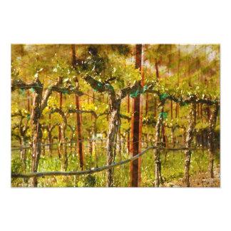 Grapes Vines in Vineyard during Spring Photo Print