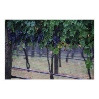 Grapes Vines Poster