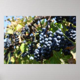 Grapes Vineyard Poster