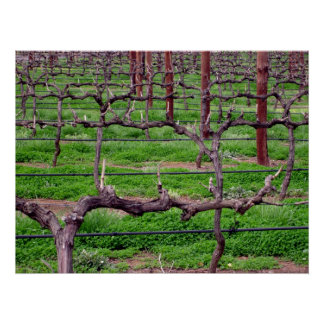 Grapevines at Winery Poster
