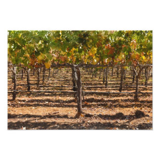 Grapevines in the Fall Photo Print