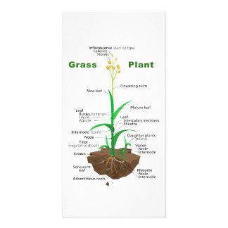 Grass Graminoids Plant Diagram Custom Photo Card