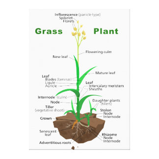 Grass Graminoids Plant Diagram Stretched Canvas Print