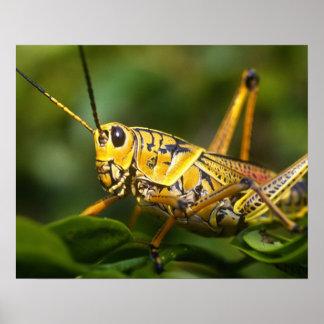 Grasshopper, Everglades National Park, Florida, Poster
