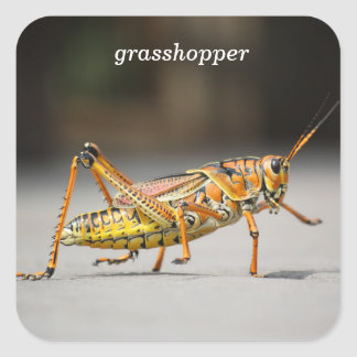 grasshopper square sticker
