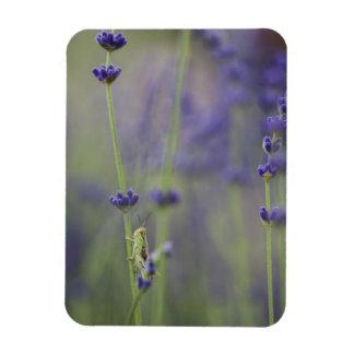 Grasshopper with lavender rectangular photo magnet