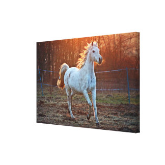 Gray Arabian Horse Canvas Print